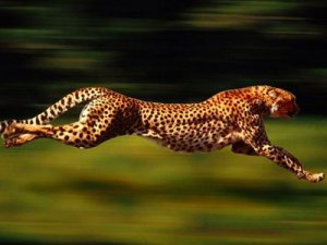 1.+CHEETAH Top 10 Fastest Animal