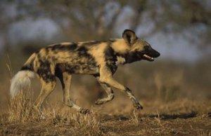 8.+ANJING+PEMBURU Top 10 Fastest Animal