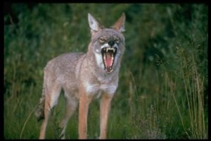 9.+COYOTE Top 10 Fastest Animal